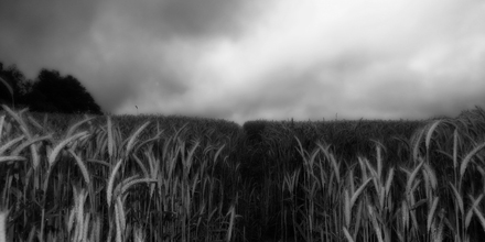 An eerie field of corn.